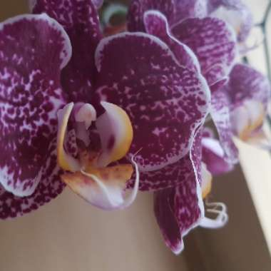 Phalaenopsis Miniature Purple and White