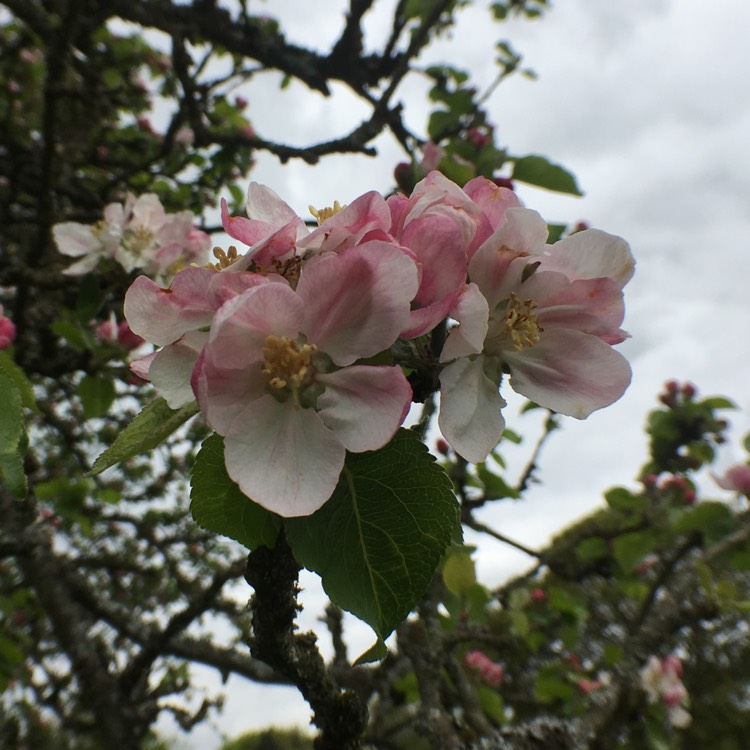 Plant image Malus Domestica 'Bramley's Seedling'