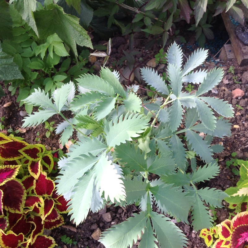 Plant image Melianthus major 'Purple Haze'