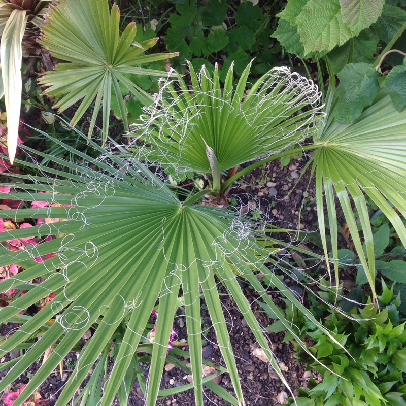 Plant image Washingtonia robusta