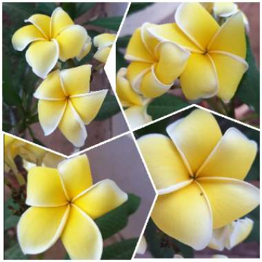 Common yellow Frangipani
