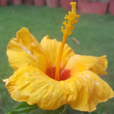 Hibiscus rosa-sinensis 'Sunset Yellow'