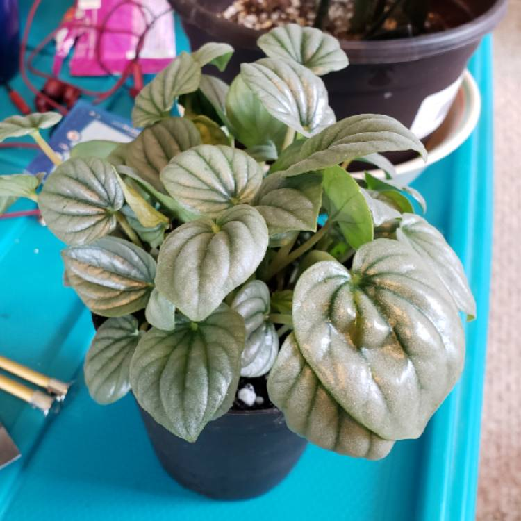 Plant image Peperomia 'Frost'