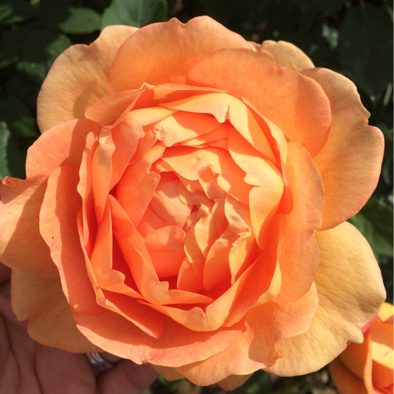 Rose 'Lady of Shalott' (Shrub)