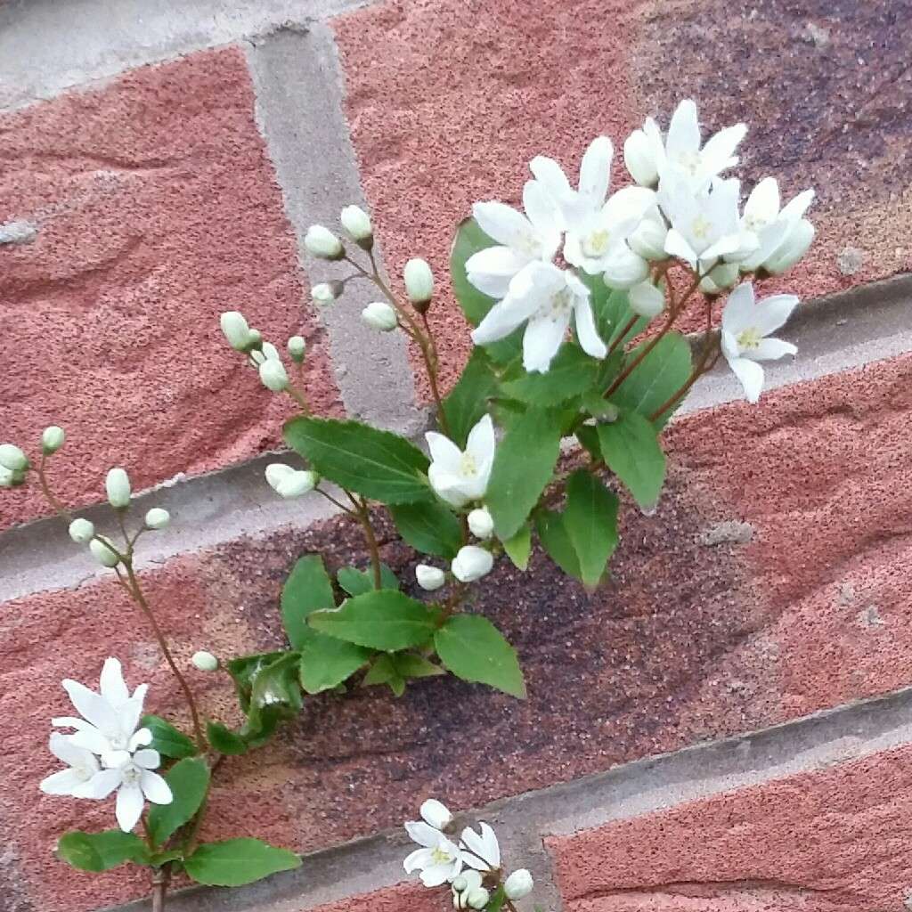 Plant image Exochorda x macrantha 'The Bride'