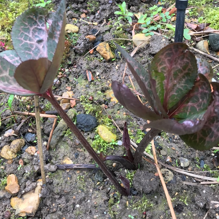 Plant image Helleborus 'Abcrd01' (Rodney Davey Marbled Group) syn. Helleborus 'Frostkiss Penny's Pink'