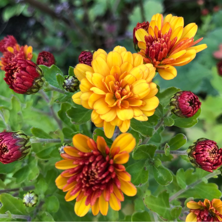 Plant image Chrysanthemum 'Conella Orange'