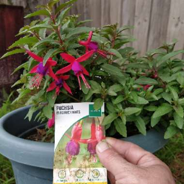 Fuchsia magellanica 'Electric Lights'