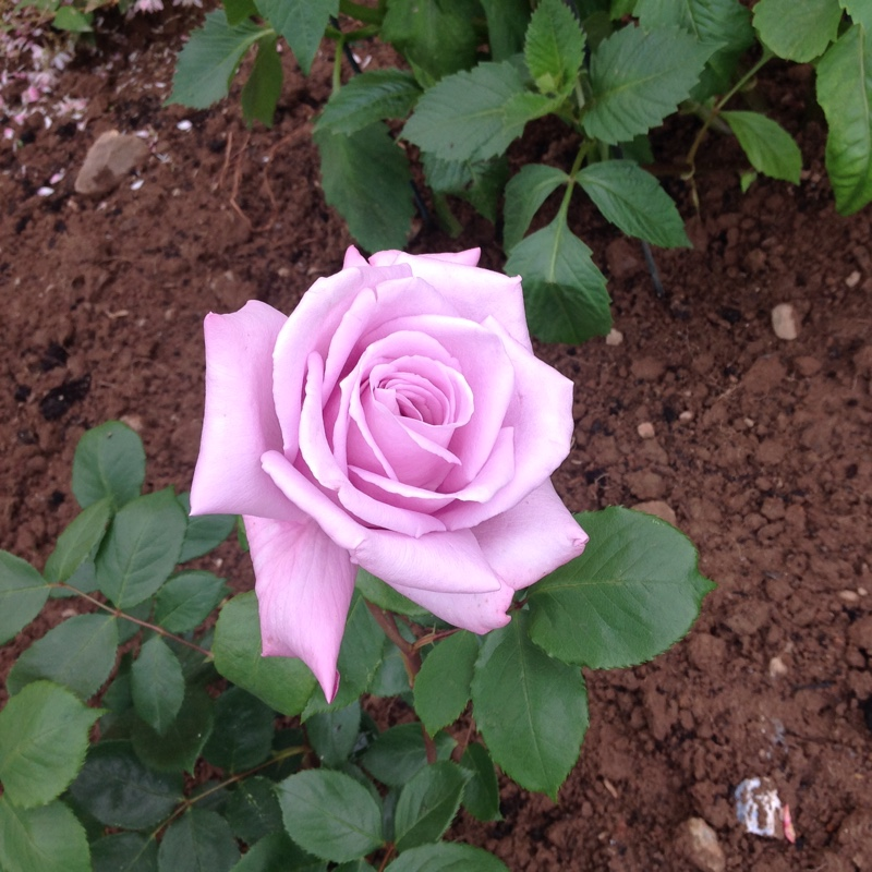 Rose 'Twice In A Blue Moon'