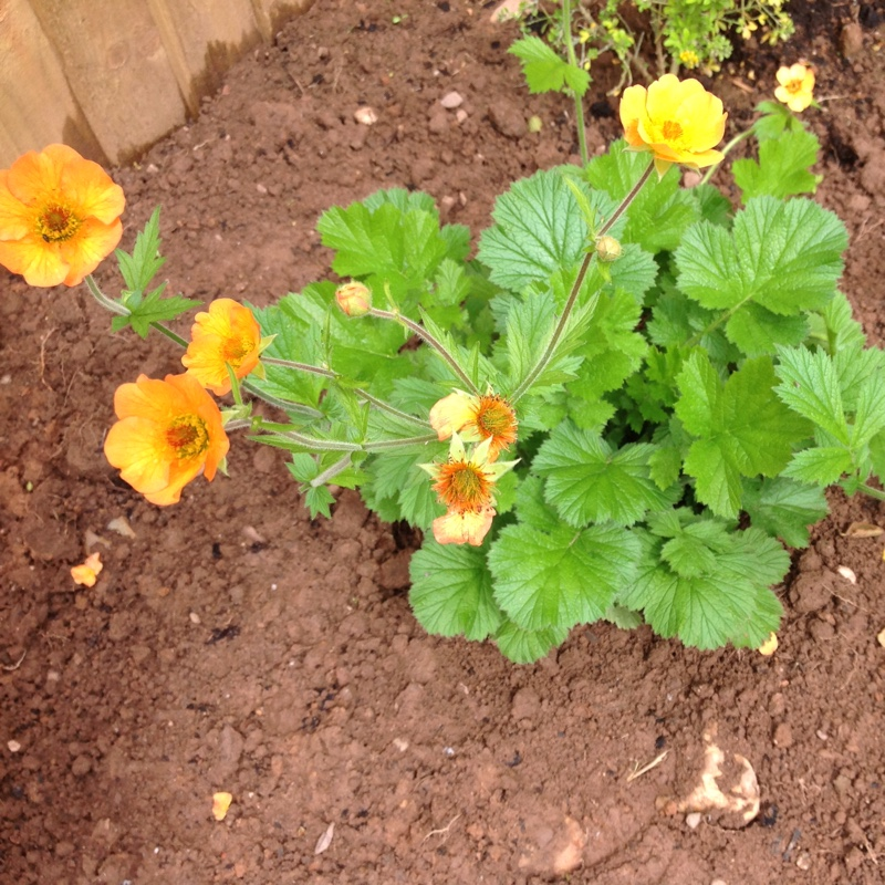 Avens 'Totally tangerine'