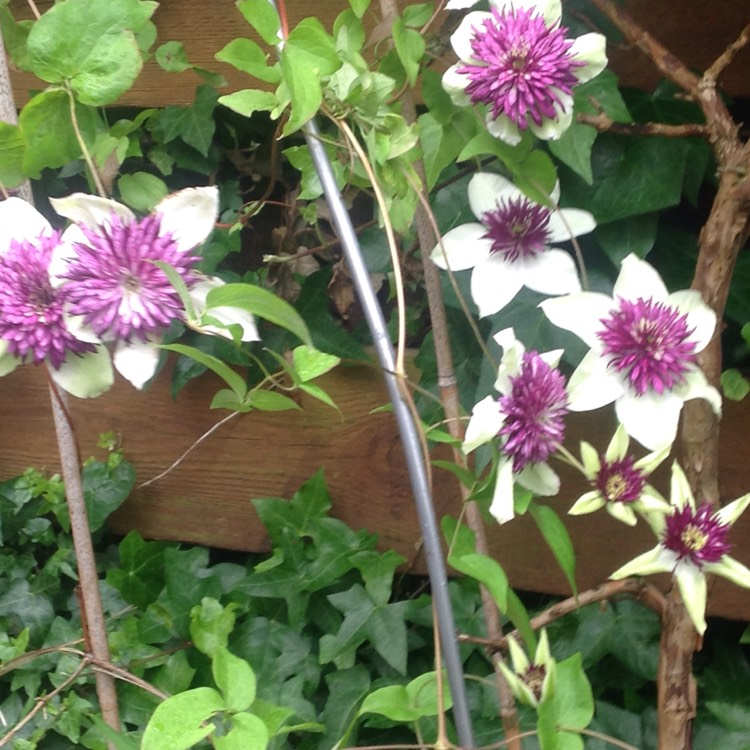 Plant image Clematis 'Crystal Fountain'™ evipo038