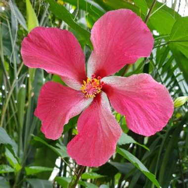 Tropical Hibiscus 'Tequila Sunrise'