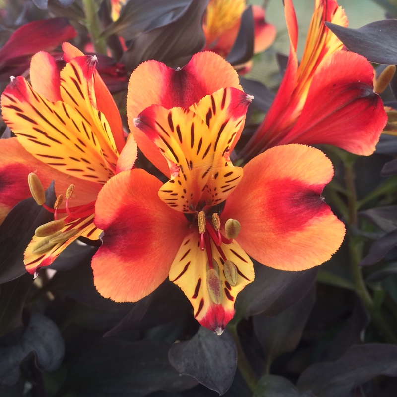 Alstroemeria 'Indian Summer'