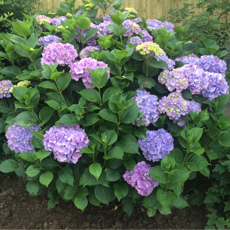 Hydrangea macrophylla 'Endless Summer®'
