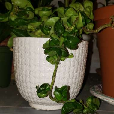 Hindu Rope Plant, Indian Rope plant