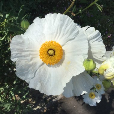Californian Tree Poppy