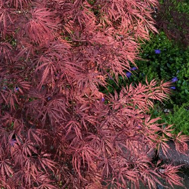 Japanese Maple 'Atropurpureum'