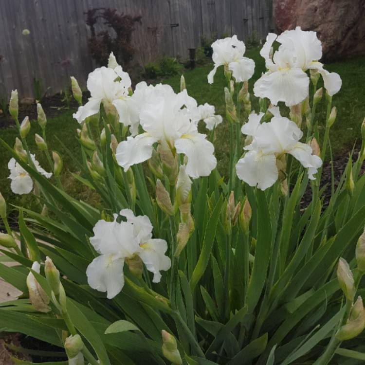 Plant image Iris x germanica 'Immortality'