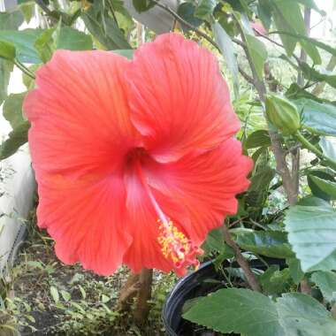 Hibiscus rosa-sinensis red variety