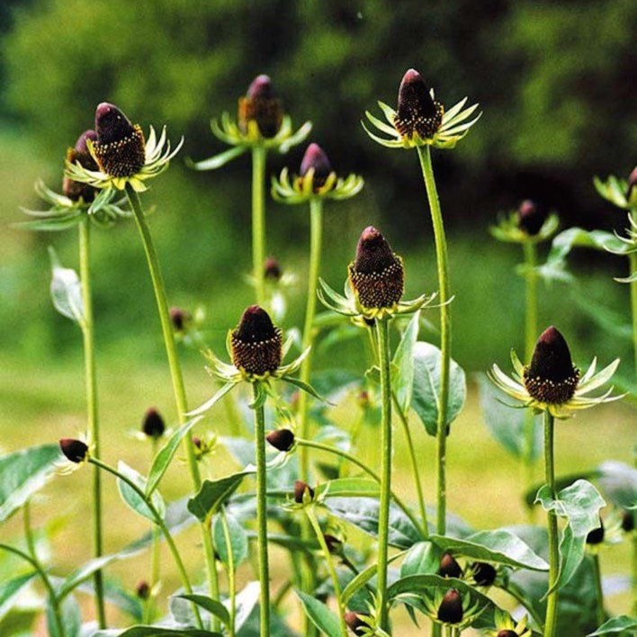 Plant image Rudbeckia occidentalis 'Green Wizard'