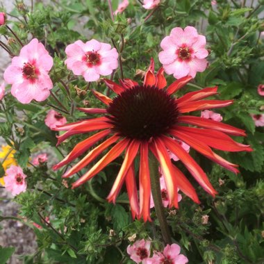 Coneflower 'Firebird'