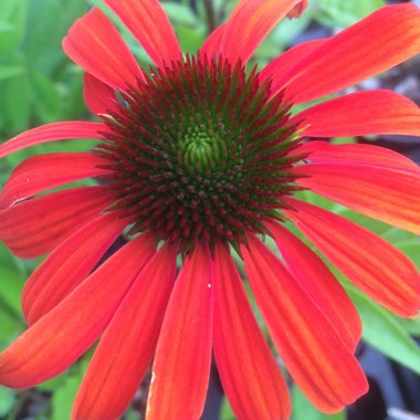 Coneflower 'Julia'