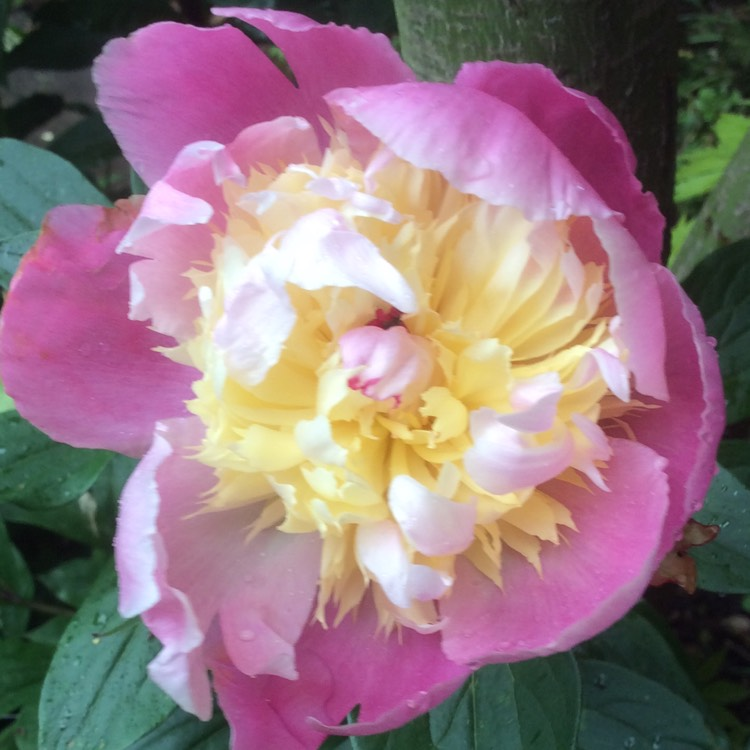 Plant image Paeonia lactiflora 'Bowl of Beauty'