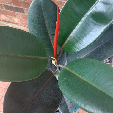 Rubber Tree 'Robusta'