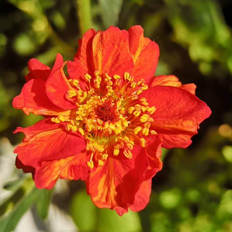 Plant image Geum (unknown varieties)