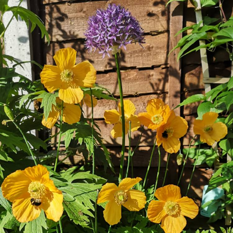Plant image Meconopsis cambrica