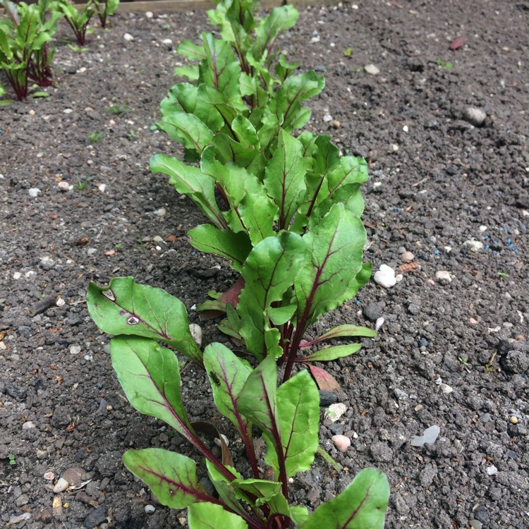 Plant image Beta Vulgaris