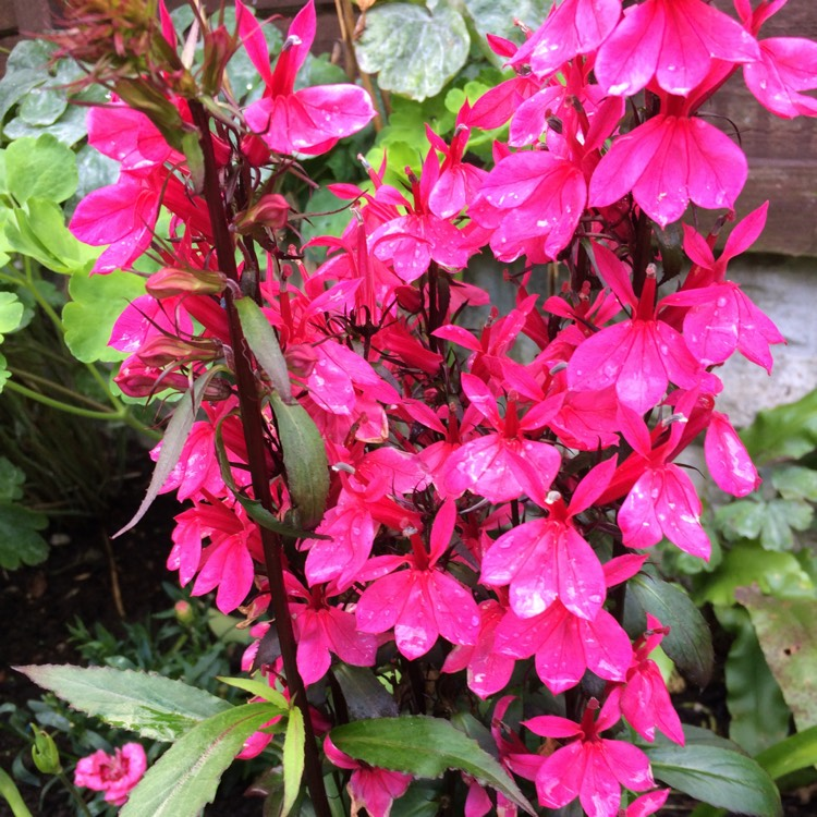 Lobelia X Speciosa Fan Deep Rose Lobelia Fan Deep Rose