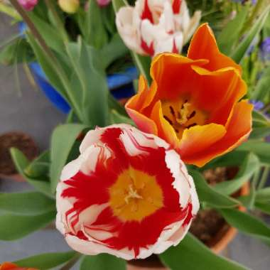 Tulip (Rembrandt Group)
