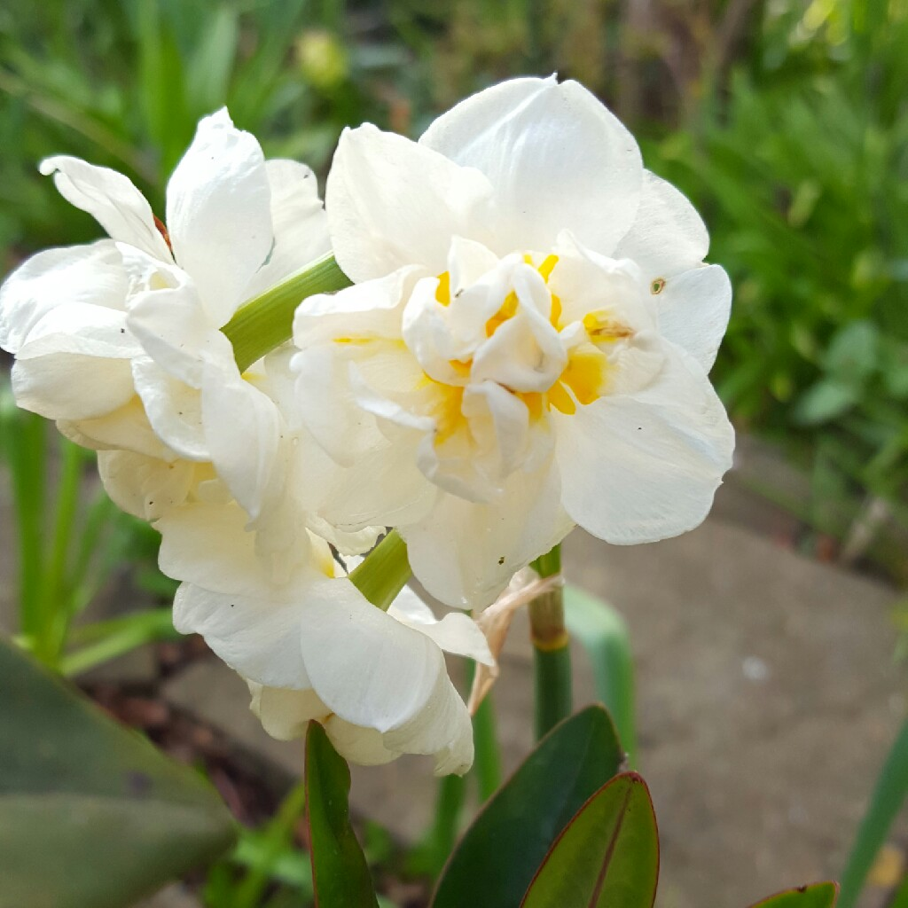 Plant image Narcissus 'Bridal Crown'