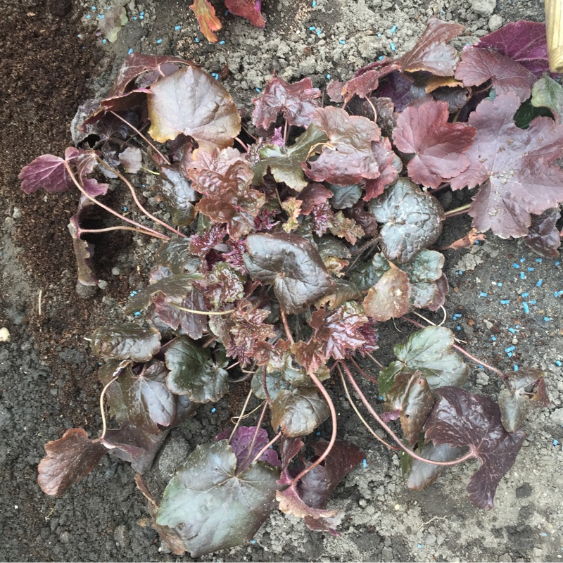 Heuchera villosa 'Palace Purple' syn. Heuchera sanguinea 'Palance Purple', Heuchera micrantha 'Palace Purple'