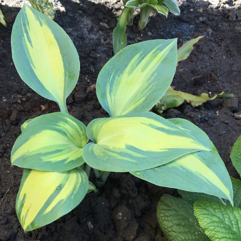 Plantain Lily 'Dinner Jacket'
