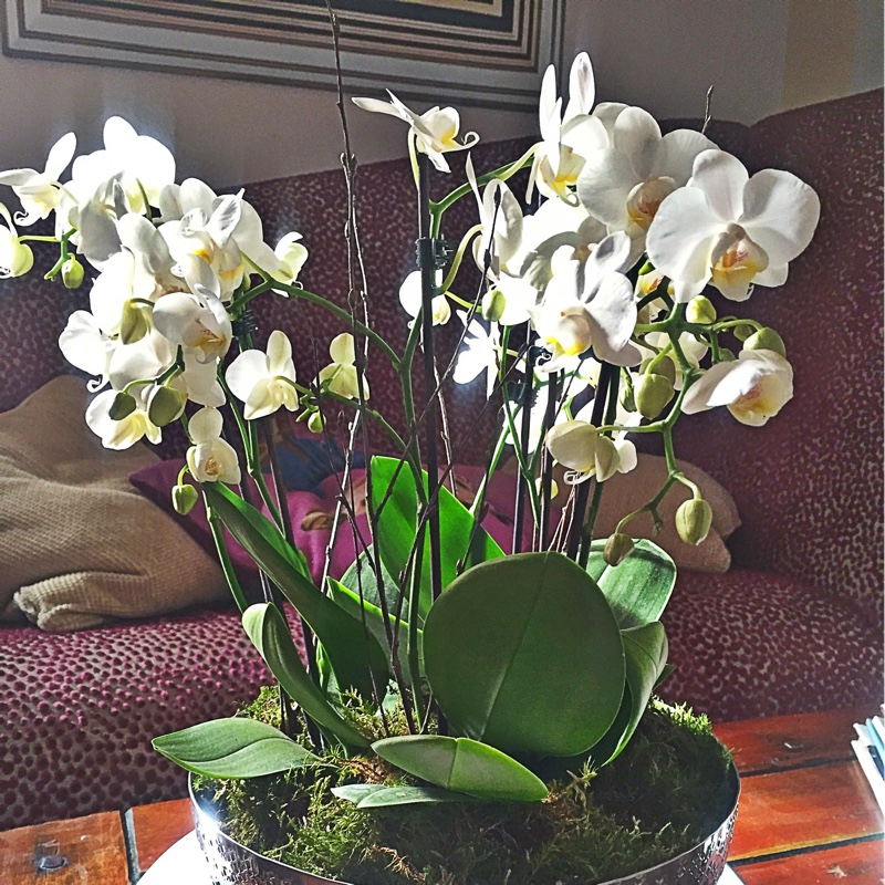 Miniature White Moth Orchid