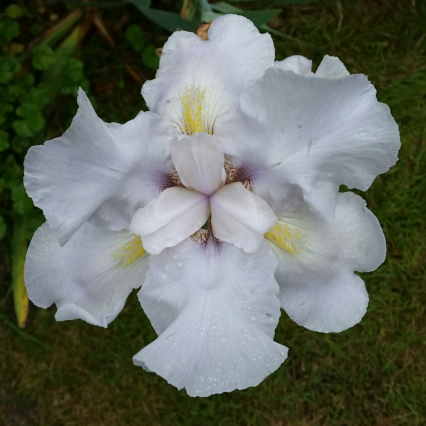 Plant image Iris (unknown variety)