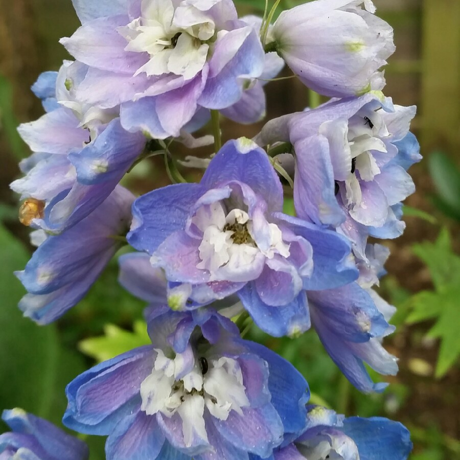 Plant image Delphinium 'Magic Fountains Sky Blue'
