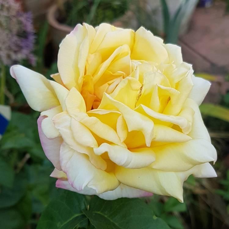 первых сорт розы мадам мейланд фото устройство может