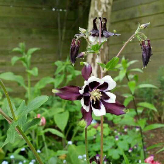 Plant image Aquilegia vulgaris 'William Guiness'