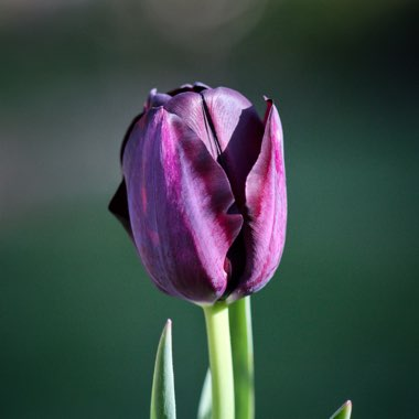 Tulip 'Queen Of Night' (Single Late)