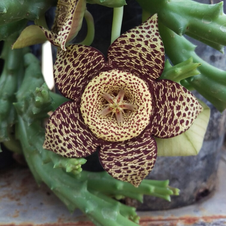 Stapelia variegata the earth bound star uploaded by for Stapelia variegata