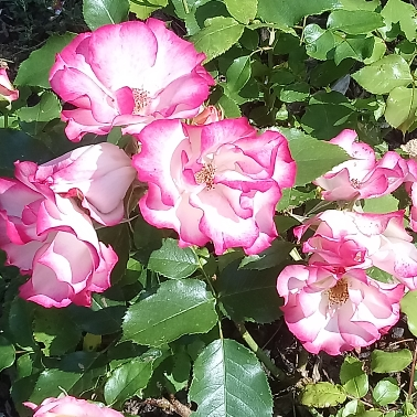 Plant image Rosa 'Birthday Girl'