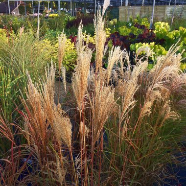 Silver Grass 'Red Cloud'