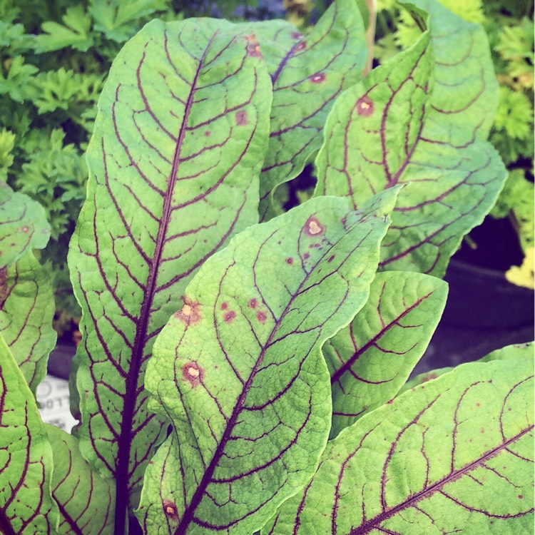 Plant image Rumex acetosa 'Red Veined'