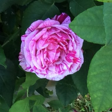 Old Rose 'Ferdinand Pichard'