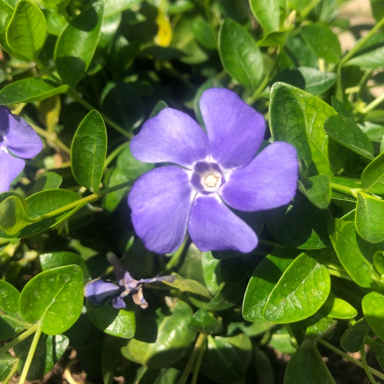 Plant image Vinca minor 'Flower Power'
