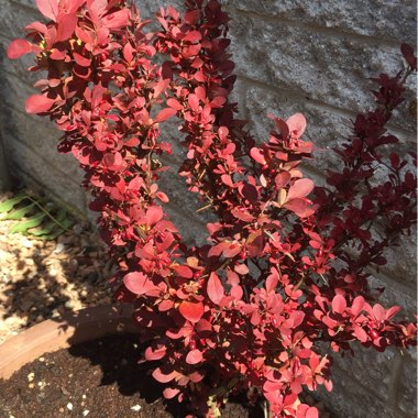 Japanese Barberry 'Red Rocket'