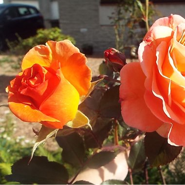 Hybrid Tea Rose 'Tequila Sunrise'